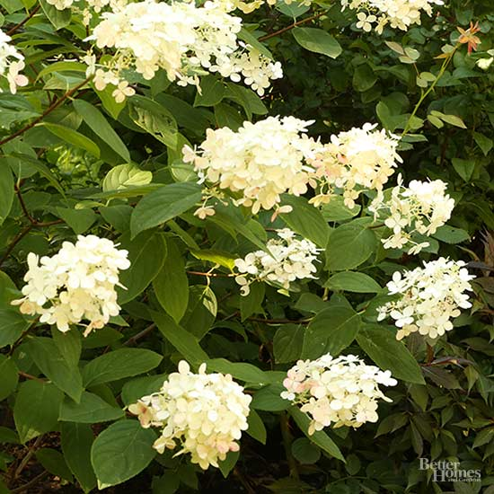 The 6 Best Hydrangeas from the Test Garden
