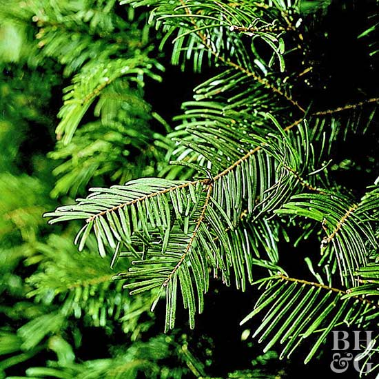 Types Of Fir Trees For Christmas: Types Of Christmas Trees