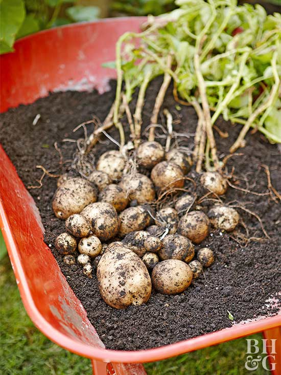 How To Plant Potatoes With Sprouts Howsto Co