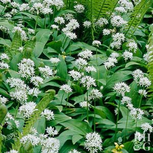 Allium allium ursinum is noted for its 2 inch wide shaggy white flower heads that appear on 18 inch tall stems in summer zones 4 9 mightylinksfo