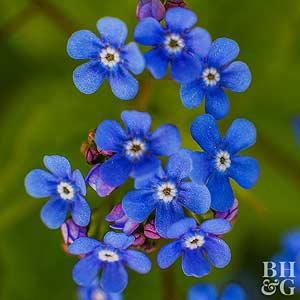 Blue Bugloss