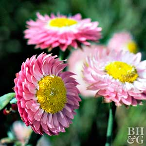 Strawflower mightylinksfo