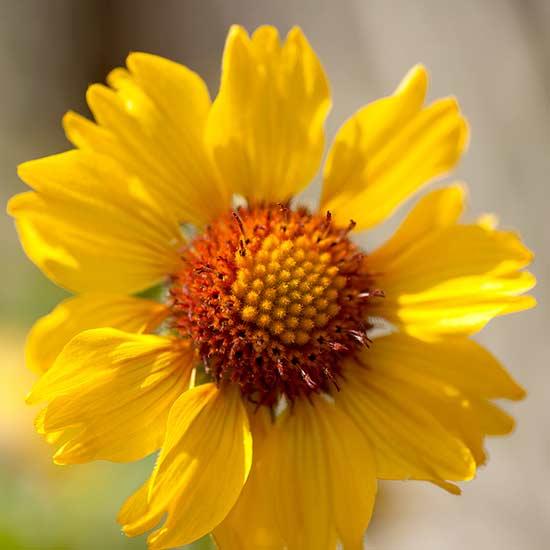 Blanket flower mightylinksfo