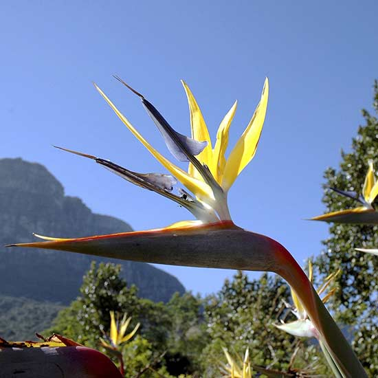 Mandelas Gold Bird Of Paradise Strelitzia Reginae Getty 544290721 Jpg Rendition Largest