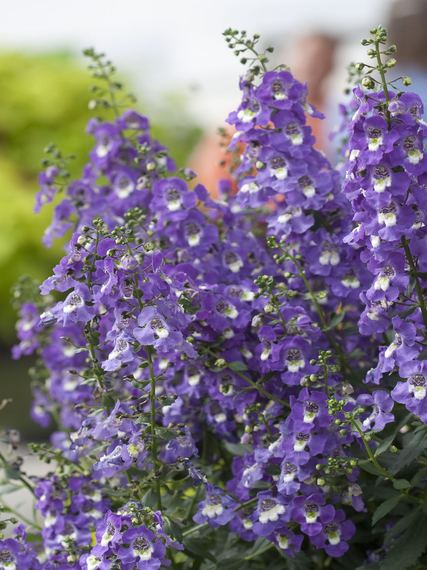 Angelonia angelonia angustifolia is an upright plant covered in exceptionally large flowers izmirmasajfo