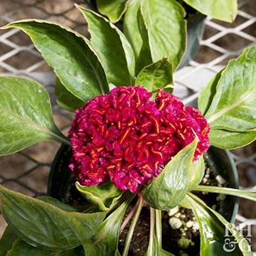 Celosia celosia amigo red offers crested red flowers on a compact plant with excellent heat and drought tolerance it grows 6 inches tall and wide mightylinksfo