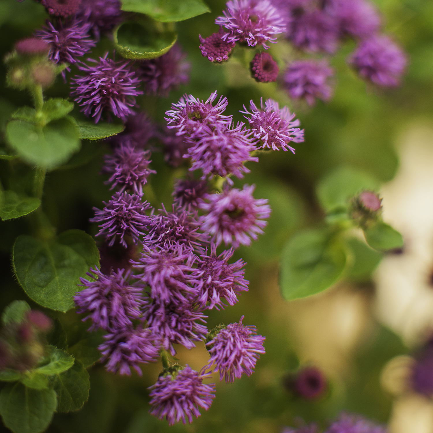 Ageratum rich purple blooms cover these small mounding plants and have good heat tolerance mightylinksfo