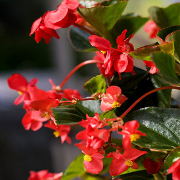 Red With Green Leaf Begonia