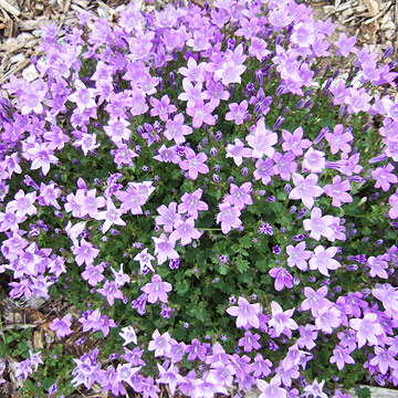 Bellflower campanula birch hybrid is a groundcover that bears 1 inch long fluted lavender blue flowers from late spring through late summer if deadheaded mightylinksfo