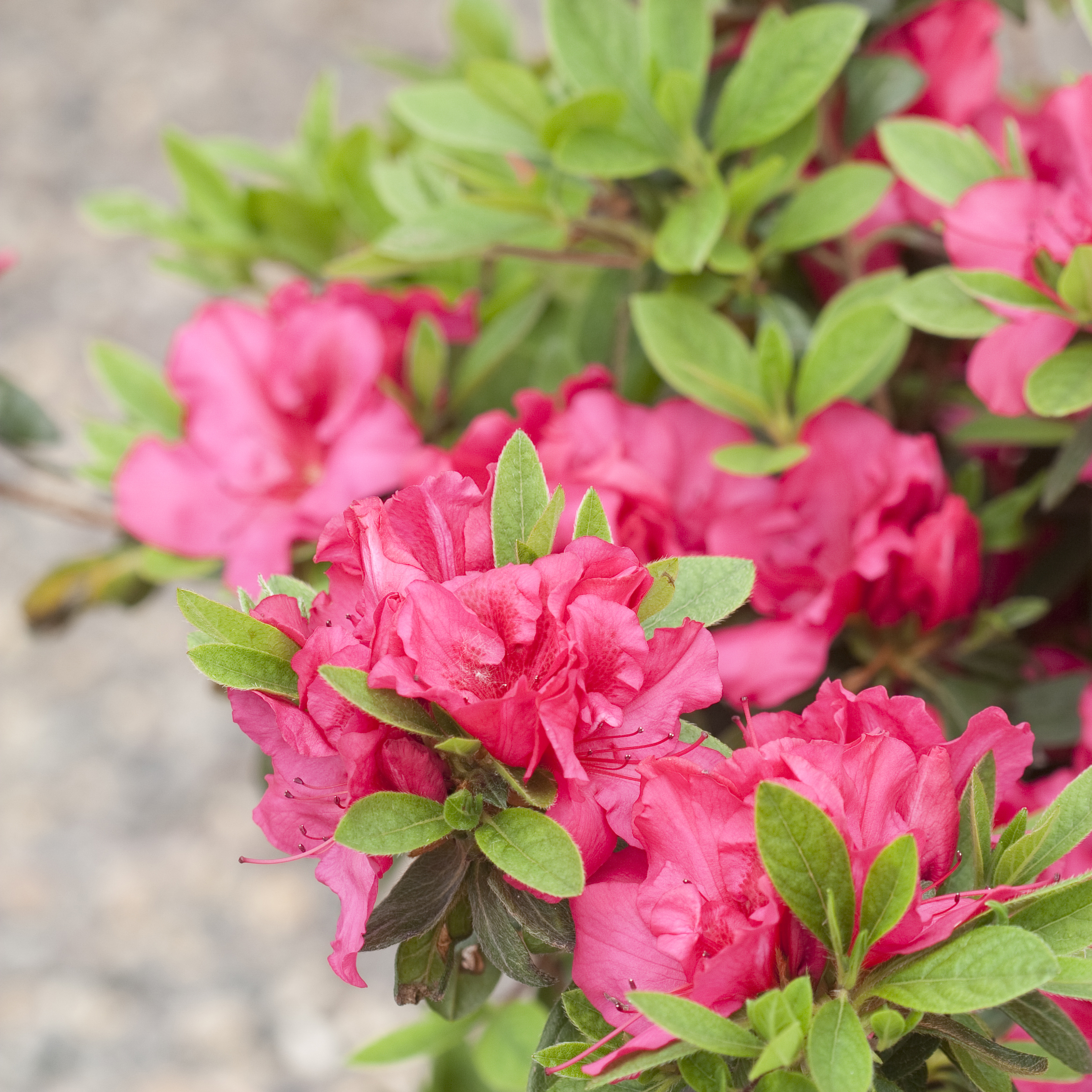 A Series Of Semi Evergreen Azaleas That Feature Re Blooming Habit For Season Long Color Zones 6 9