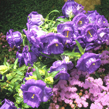 Bellflower campanula medium caerulea is an old fashioned cottage garden biennial that sends up towering spikes of clear blue flowers zones 5 8 mightylinksfo