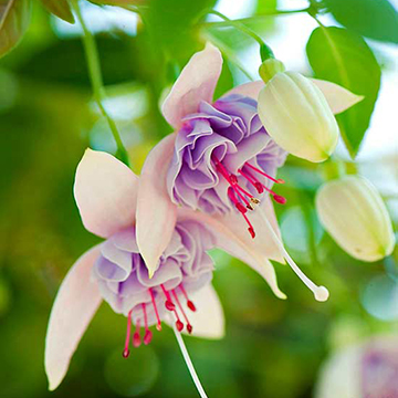 Fuchsia fuchsia blush of dawn bears gorgeous double pink and silvery lavender flowers it trails to 18 inches and grows 24 inches wide zones 8 10 mightylinksfo