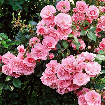 Shrub rose rosa meidomonac was one of the first shrub roses and this award winner is still one of the best it delivers a disease resistant performance soft pink mightylinksfo