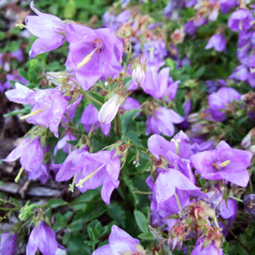 Bellflower campanula raddeana grows 1 foot tall and produces 1 inch diameter bell shape flowers midsummer zones 5 8 mightylinksfo