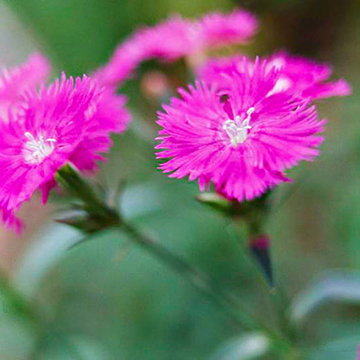 Dianthus dianthus chinensis is most often grown as a cool season annual flower although it can be a short lived perennial in zones 5 and warmer mightylinksfo