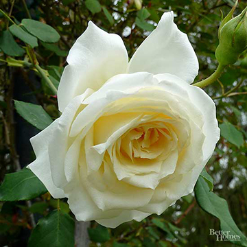 Climbing rose rosa climbing snowbird is a vigorous climber with a high centered white flower it is exceptionally fragrant like other white roses it is breathtaking mightylinksfo