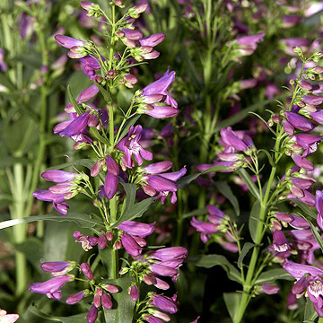 Penstemon flowers about 2 inches long in spring the colors can be red pink carmine or purple the 8 inch lance shape leaves have a whitish bloom the plant mightylinksfo