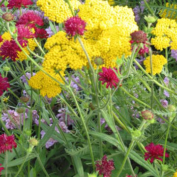 Yarrow achillea coronation gold is a fern leaf type with yellow flowers that are good for drying on 3 foot tall stems it forms mounds of ferny gray foliage mightylinksfo