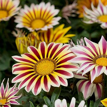 Image result for gazania flower