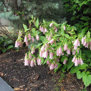 Bellflower campanula elizabeth sometimes called korean bellflower campanula takesimana is an upright clump former that grows 2 feet tall mightylinksfo