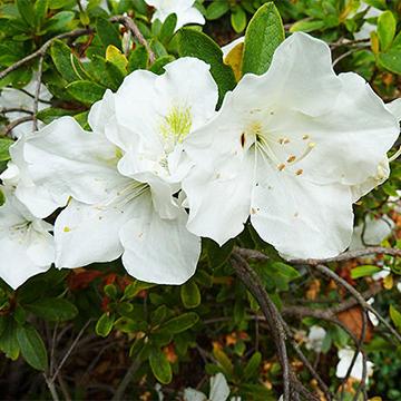 Rhododendron fielders white azalea mightylinksfo