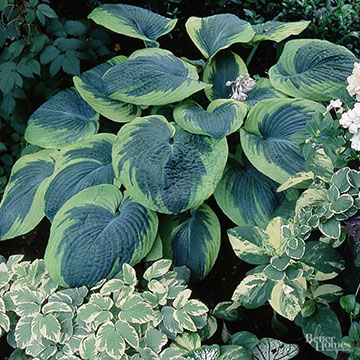 Hosta Frances Williams Is One Of The Most Decorative Hostas Its Bold Cupped And Puckered Heart Shape Blue Green Leaves Have Irregular Yellowish