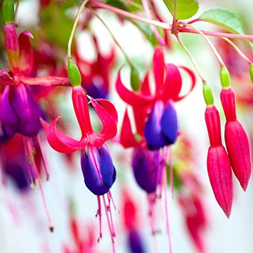Fuchsia fuchsia genii is an upright selection that bears single pink and violet flowers it grows 3 feet tall and 2 feet wide zones 8 10 mightylinksfo