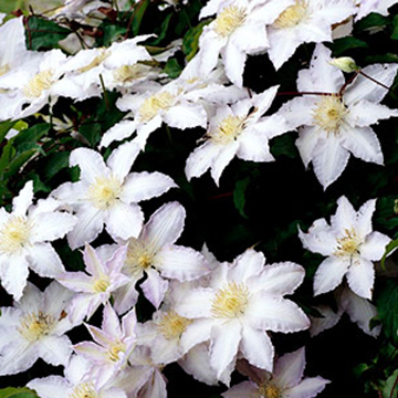 Clematis clematis gillian blades is a stunning selection with ruffled white blooms in late spring and early summer then again in late summer and early fall mightylinksfo