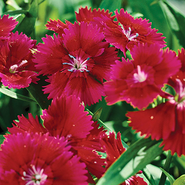 Dianthus dianthus ideal violet is bred for winter cold resistance and summer heat tolerance it is an excellent cool season annual or short lived perennial with mightylinksfo