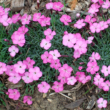 Dianthus dianthus gratianopolitanus la bourboule pink forms a compact mound of foliage no more than an inch or two tall magenta pink flowers rise several inches mightylinksfo
