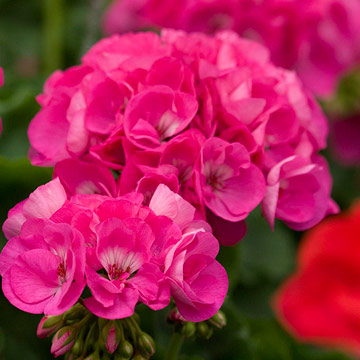 Geranium pelargonium maestro rose pink offers large soft pink blooms touched with rose on a medium size plant with good heat tolerance it grows 12 inches tall mightylinksfo