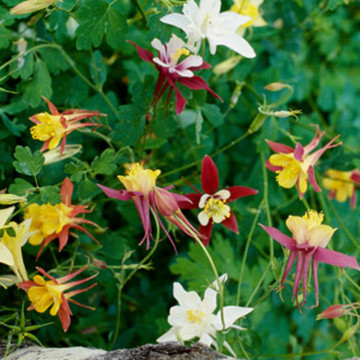 Aquilegia Mckana Hybrids Is A Strain Of Large Plants With Broad Range Flower Colors Blue And White Red Yellow Pink Purple Maroon Bicolors