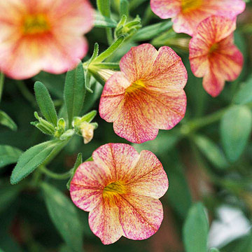 Calibrachoa million bells terra cotta calibrachoa offers orange flowers streaked with shades of red and gold on trailing stems to 8 inches mightylinksfo
