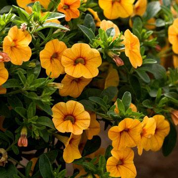 Calibrachoa minifamous tangerine calibrachoa offers soft yellow flowers with orange markings on a vigorous plant that trails to 8 inches mightylinksfo