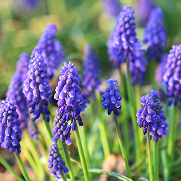 Grape hyacinth muscari armeniacum bears small spikes packed with tiny blue bell shape flowers sometimes tinged purple that rise from narrow foliage in mid spring mightylinksfo