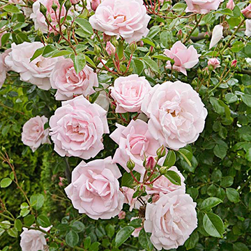 The Sweetly Fragrant Flowers Are Cered On Long Strong Stems It Grows 18 Feet Tall And Is Disease Resistant Zones 5 9