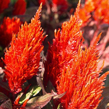 Celosia celosia new look red grows 20 inches tall and bears red flowers over burgundy red foliage mightylinksfo