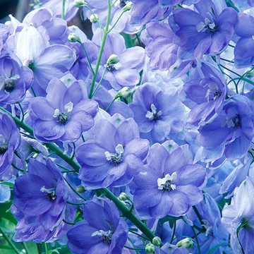 Delphinium delphinium elatum pacific giants series are towering plants with bloom stalks reaching up to 7 feet tall colors range from light blue to white pink mightylinksfo Choice Image
