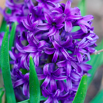 Hyacinth hyacinthus orientalis peter stuyvesant produces deep blue purple flowers in early spring this variety grows 12 inches tall zones 4 9 mightylinksfo