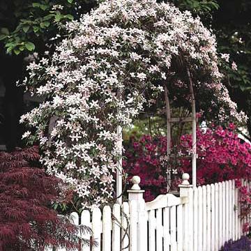 Clematis Montana Var Rubens Bears Pink Flowers In Late Spring And Early Summer On Vigorous Vines That Climb To 30 Feet Zones 6 9