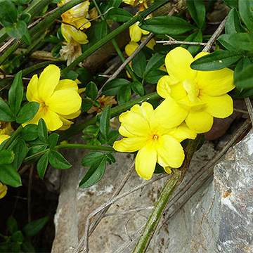 Jasmine primrose jasmine has unscented lemon yellow flowers in winter and spring and sporadically during other times of the year zones 8 10 mightylinksfo