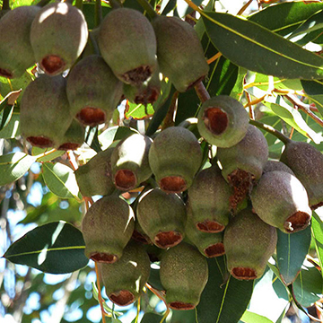 Eucalyptus it bears clusters of red orange pink or white flowers above the tree canopy sporadically throughout the year the tree grows 25 40 feet mightylinksfo