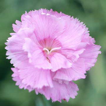 Dianthus dianthus plumarius rose de mai also sometimes called gillyflower is an old fashioned flower with highly fragrant pale pink blooms in midspring to early mightylinksfo Choice Image