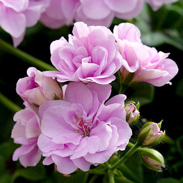 Geranium pelargonium royal lavender is a trailing heat tolerant geranium with soft lavender pink flowers all summer it trails to 14 inches mightylinksfo