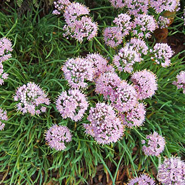 Allium it has blue green leaves that grow in a spiral and clusters of purple pink flowers in late mightylinksfo