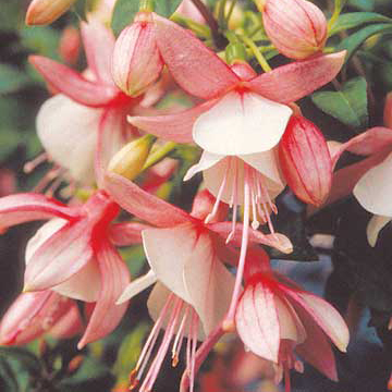 Fuchsia fuchsia shadow dancer ginger offers peachy pink and white flowers on compact plants that grow 1 foot tall and 2 feet wide zones 8 10 mightylinksfo