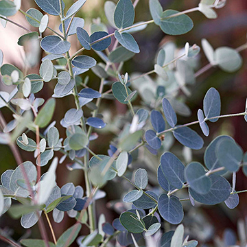 Eucalyptus Gunnii Silver Drop Is Most Commonly Grown As An Annual For Its Fragrant Green Foliage It Grows 2 3 Feet Tall And Wide