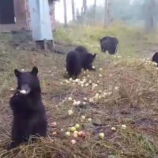This Video of 15 Bears Snacking on Apples is Cuter Than Anything