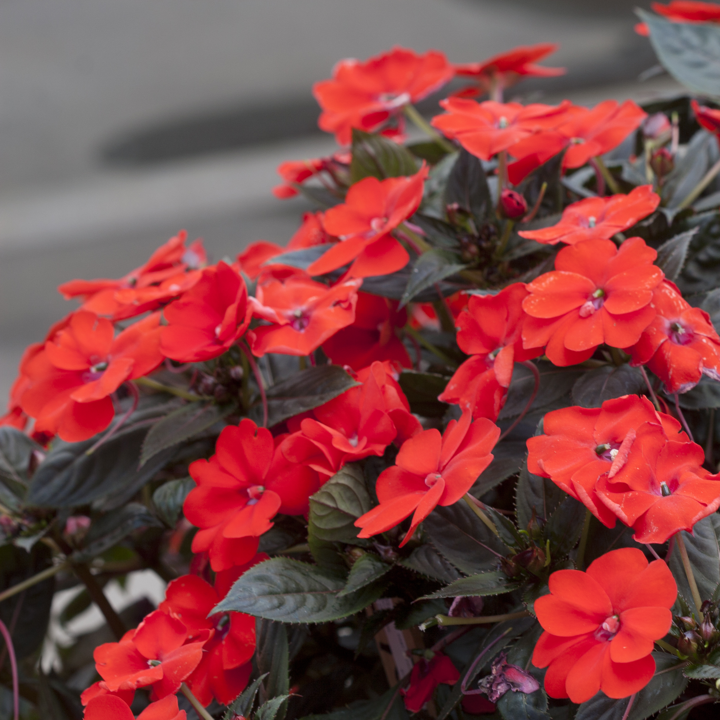 Impatiens impatiens sunpatiens series is an interspecific hybrid of impatiens that grows just as well in full sun as in full shade with blooms closer in size to new izmirmasajfo