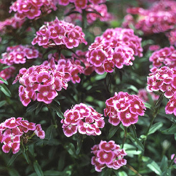 Dianthus dianthus barbatus is a biennial or short lived perennial allow it to self seed in the garden to ensure its return the following year mightylinksfo